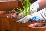 Grupa Kapias - doniczkarka Javo - sadzenie roślin