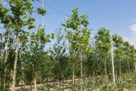 Grupa Kapias Produkcja drzew formowanych w gruncie