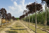 Grupa Kapias Produkcja drzew w gruncie