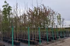 Grupa Kapias produkcja drzew w pojemnikach