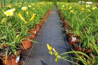 Grupa Kapias produkcja liliowców w pojemnikach