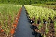 Grupa Kapias produkcja traw ozdobnych w pojemnikach