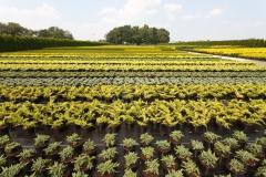 Grupa Kapias produkcja roślin iglastych w pojemnikach