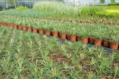 Grupa Kapias produkcja roślin liściastych w pojemnikach