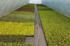 Grupa Kapias sadzonki liściaste w multiplatach