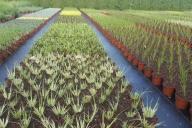 Grupa Kapias trawy ozdobne