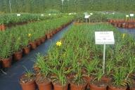 Grupa Kapias Hemerocalis - liliowce w odmianach