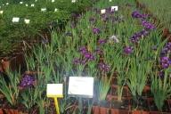 Grupa Kapias Iris (kosaciec syberyjski) w odmianach