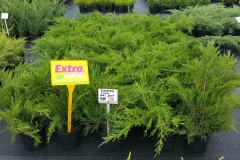 Grupa Kapias Juniperus Mint Julep