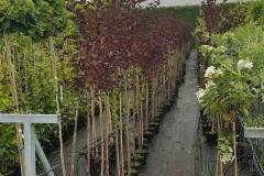 Grupa Kapias Physocarpus Pa