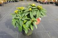Grupa Kapias Rododendrony i Azalie japońskie w odmianach