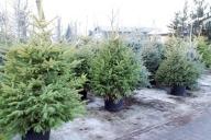 Grupa Kapias - choinki świąteczne w donicach (balot+donica)