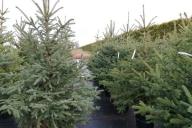 Grupa Kapias - choinki świąteczne (materiał kopany i posadzony do donic)