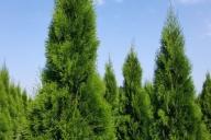 Grupa Kapias Produkcja roślin w gruncie - Thuja occidentalis 'Smaragd'