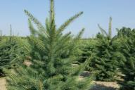 Grupa Kapias Produkcja roślin w gruncie - Picea pungens