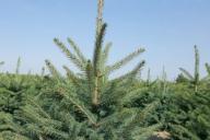 Grupa Kapias Produkcja roślin w gruncie - Picea pungens f. glauca