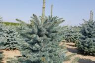 Grupa Kapias Produkcja roślin w gruncie - Picea pungens 'Kaibab'