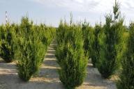 Grupa Kapias Produkcja roślin w gruncie - Thuja occidentalis 'Aureospicata'