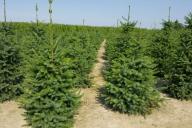 Grupa Kapias Produkcja roślin w gruncie - Picea omorika