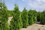 Grupa Kapias Produkcja roślin w gruncie - Thuja occidentalis 'Brabant'
