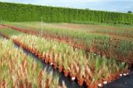 Grupa Kapias - trawy ozdobne