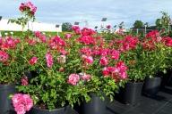Grupa Kapias -  róża okrywowa