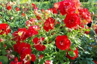 Grupa Kapias -  róża rabatowa
