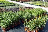 Grupa Kapias -  rośliny bylinowe