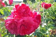 Grupa Kapias -  róża pnąca