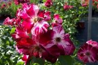 Grupa Kapias -  róża wielokwiatowa