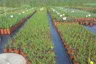 Grupa Kapias Hemerocalis (liliowce) w odmianach