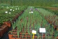 Grupa Kapias Hemerocalis, Iris, Paeonia