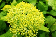 Grupa Kapias Hydrangea arborescens 'Annabelle'