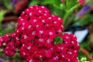 Achillea-millefolium-Red-Velvet-C2-3