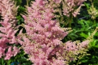 Astilbe-japonica-Europa-C2-2