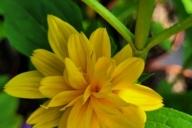 Helianthus-decapetalus-Loddon-Gold-C2-1