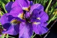 Iris-sibirica-Bundle-of-Joy