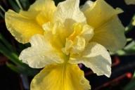 Iris-sibirica-Summer-Revels-C3