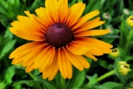 Rudbeckia-hirta-Brilliant-Smileyz-PBR-C2-2