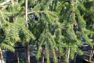 Grupa Kapias - Picea abies 'Inversa'