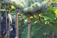 Grupa Kapias - Picea pungens 'Glauca Globosa'