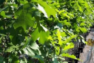 Grupa Kapias - Quercus rubra