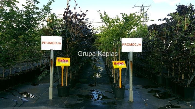Grupa Kapias Fagus sylvatica 'Antropunicea' oraz Fagus sylvatica 'Bicolor Sartini' w promocji