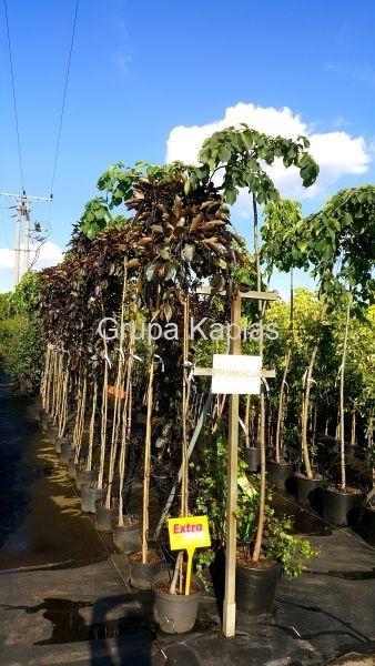 Grupa Kapias Fagus sylvatica 'Purpurea Pendula' w promocji