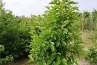 Grupa Kapias - Magnolia