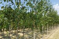 Grupa Kapias - Betula utilis 'Doorenbos'
