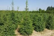 Grupa Kapias - Picea omorika