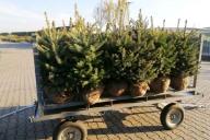 Grupa Kapias - Picea pungens