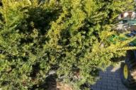 Grupa Kapias - Taxus cuspidata 'Aurescens'