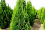 Grupa Kapias - Thuja occidentalis 'Smaragd'